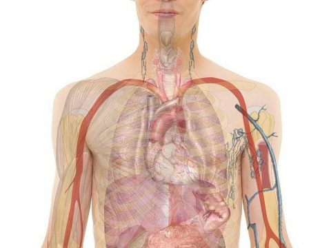 anatomia człowieka